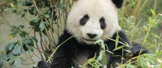 Pandaerne i zoo æder 40 kilo bambus om dagen - og de æder ikke hvad som helst.