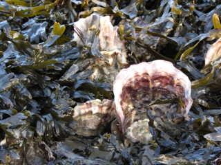 Vadehavets østersbanker er som skabt for den opportinistiske lille krabbe, der både kan gemme sig i skallerne, yngle på bankerne og æde løs af de helt unge østers. Bliver de mange nok, kan de blive en trussel mod Vadehavets økologi.