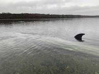 Hvalen ligger cirka ti meter fra kysten.