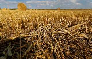 Overskydende hvede efter høst på en mark i Zeitz, der ligger 120 kilometer sydvest for Berlin i Tyskland.