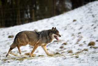 (ARKIV) Ulv Skandinavisk Dyrepark. Ulvedebatten blusser op igen i Norge. Et særligt jagthold er blevet nedsat til at opspore og skyde en ulv, der på et par uger har taget livet af over 100 får. Det skriver Ritzau, torsdag den 21. juni 2018.. (Foto: Lars Rasborg/Ritzau Scanpix)