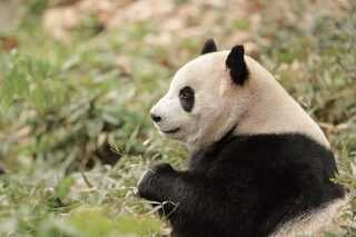 Pandahunnen Mao Sun har smagt de danske bambusskud. Anita Haupt Holm havde en sending med til Kina, som hun varsomt opbevarede i sin minibar på hotellet, fordi hun ikke måtte få dem ned i køkkenet. Det var al besværet værd, for den bambus med blade på, spiste den kvindelige del af det kommende danske pandapar.