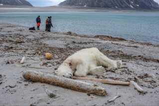 Bjørnen blev skudt den 28. juli, da den overfaldt en guide på Svalbard.