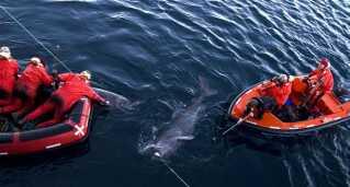 """Julius Nielsen har taget billedet af grønlandshajer, der bliver mærket med satellitsendere i Ammassalik Fjord fra forskningsskibet RV Dana under """"Greenland shark cruise 2012"""". Det sker som led i et forskningsprojekt med DTU Aqua, Københavns Universitet and Grønlands Naturinstitut."""