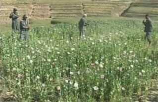 Afghanske soldater har fundet en valmuemark og slår planterne ned med træpinde.