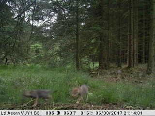 Den 30. juni spottede et vildtkamera for første gang danske ulveunger lidt syd for Holstebro.
