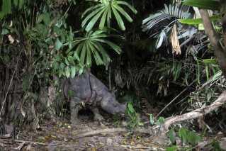 Javanæsehornet hedder også rhinoceros sondaicus og bor kun her i Ujung Kulon National Park i Indonesien.