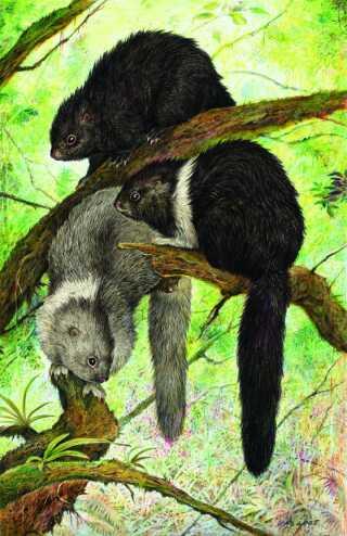 Tegningen forestiller arten Phloeomys pallidus eller på engelsk 'cloud rats', som er nogle af de mange dyr på Luzon, som ikke findes andre steder i verden.