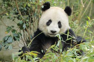 Pandaen Xing Er flytter ind i zoologisk have i København i denne uge.
