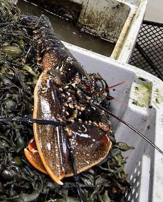 Hvis man ikke er registreret erhvervs- eller bierhvervsfisker, skal der indløses fritidsfiskertegn, inden man fisker limfjordshummer med garn, ruse eller hummertejne.