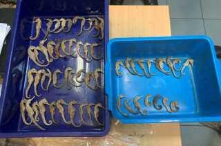 Døde søheste skulle smugles fra Indonesien til Vietnam, men blev fundet af toldere i Singapore.