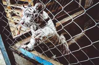 Skjult i en lastvogn fandt mexicanske betjente en hvid tigerunge.