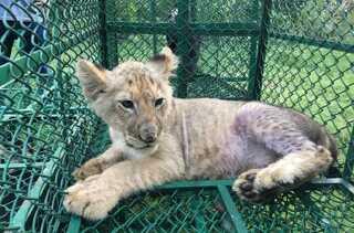 En løveunge var på vej fra Bangladesh til Storbritannien, da den blev opsnappet af indiske myndigheder.