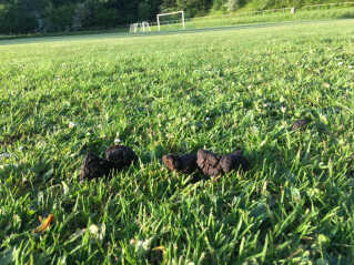 Aalborg Kommune får flere henvendelser fra klubber, der mener, at hundelorte er et problem.