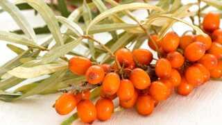 Havtorn kaldes også nordens citron på grund af sin syrlighed.