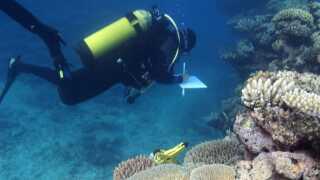 Dr. Joleah Lamb undersøger koralrev ved Great Barrier Reef. I alt har forskerne undersøgt 159 koralrev i Indonesien, Australien, Myanmar og Thailand