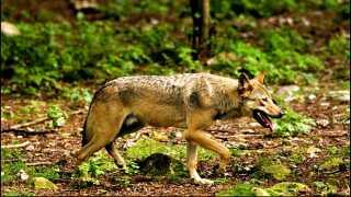 Ulven er vendt tilbage til den danske natur. Er du interesseret i at følge dyrenes, kan man gøre det på ulveatlas.dk, hvor du også kan rapportere dine egne ulvefund.