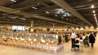 Hallerne i Messecenter Herning er i øjeblikket fyldt med kaglende høns og haner.