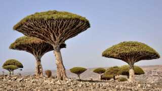På øen Socotra findes 37 procent af plantearterne og over 90 procent af øens reptiler og sneglearter ingen andre steder i verden.