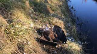 Få dage før fundet af den døde ørn, blev ørnen, der er en hun, set på reden sammen med hannen på webkameraet. Her var parret i gang med at forberede sig på at yngle i år.