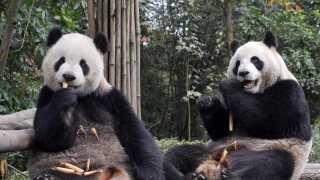 Det er to pandaer som disse, der nu flytter ind i Københavns Zoo. Billedet her er fra et pandacenter i Yaan i Kina.