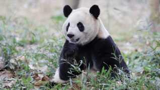 Xing Er er den anden panda, som kommer til København. XIng Er er en han, mens Mao Sun er en hun.