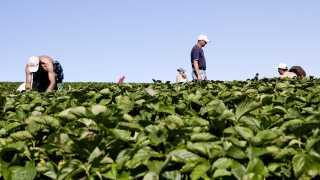 Sæsonarbejdere, som for eksempel jordbærplukkere, bliver hevet frem som et eksempel på EU-borgere, der indkasserer danske børnepenge, selvom børnene bor langt fra Danmark.