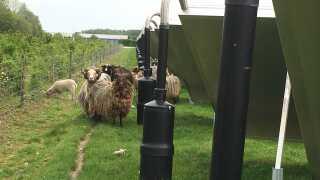 Hos Hedensted Fjernvarme er den eneste praktiske udfordring vedrørende solvarmepanelerne, at græsset omkring det kan blive for langt. Derfor er der investeret i 20-25 får, som hygger sig med at græsse rundt om panelerne.