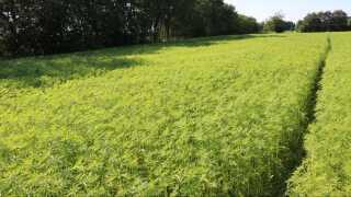 Man skal have godkendelse til at dyrke industrihamp. Det sker hos Lægemiddelstyrelsen, hvor der tages stilling til, hvilke sorter producenten har tænkt sig at så, hvor stort et markareal, der skal dyrkes, og til hvilket formål hampen skal dyrkes. Derudover undersøges planterne løbende af myndighederne, som holder øje med, om planterne nu har et THC-indhold under 0,2 procent.