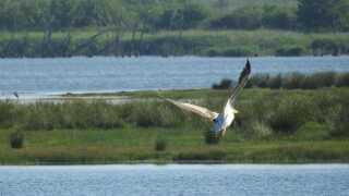 Fuglekiggere fra hele landet valfartede til Filsø for at få et glimt af den sjældne pelikan.
