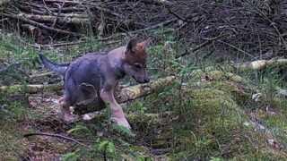 I juni i år kom det frem, at et nyt vestjysk ulvepar har fået mindst seks unger.