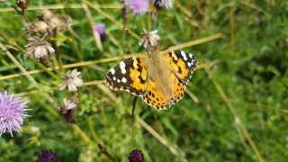 Hver gang en hel generation af tidselsommerfugle overlever, 500-dobler det bestanden. Det betyder, at vi kommer til at se ekstra mange af den smukke sommerfugl denne sommer.
