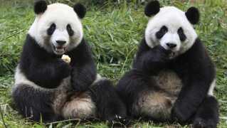Pandaerne på billedet er fra Chengdu, hvor de to pandaer, der nu skal bo i Københavns zoologiske have, også kommer fra.