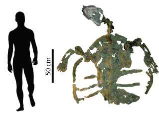 Resterne af skildpadden tyder på, at den var næsten to meter lang. Den er i familie med karetteskilpadden, der lever i dag.