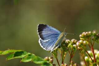 Smuk Skovblåfugl finder nektar i blomsterne.