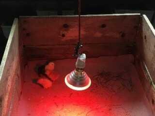 Kyllinger der blev udruget på Askov-Malt Skole.