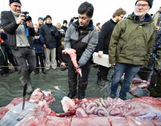 Hvalekspert Abdi Hedayat ses her med han-hvalens penis under dissektionen af den døde sejhval på kajen i Hobro.
