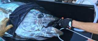 De fleste blåfinnede tun i forskningsprojektet er på omkring 275 kilo