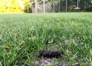 Hundelort i græsset på Vejgaards boldbaner.