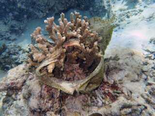 Koral omslynget af plastik, hvilket kan nedsætte evnen til at lave fotosyntese og optage ilt.