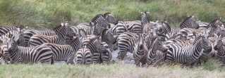 For et rovdyr kan striberne gøre det svært at se omridset af de enkelte dyr, når den møder en flok zebraer. Derfor er det svært for den at udvælge ét dyr at gå efter. Foto: Jane Wimmerlin, Unsplash.