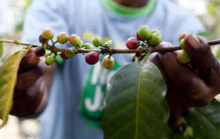 Kaffeplantens bær indeholder hver to kaffebønner.