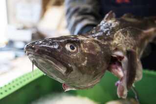 I dag er torsken en kommercielt vigtig art i Danmark. Det er ikke sikkert, at det forbliver sådan ind i fremtiden.