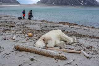 Her er billedet af den dræbte isbjørn. Ifølge Kaare Winther Hansen indikerer de store poter og det lidt tynde udseende, at det er en ung isbjørn på omkring 2 år. Den har højest sandsynligt været sulten og ude efter føde, da den stødte på besætningsmedlemmer fra turistskibet og gik til angreb på den ene guide.
