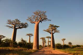 Baobab Alley på Madagascar.
