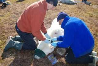 Forskerne bedøver isbjørnene og sætter halsbåndet på. Det vejer kun to kg, som er ingenting for en bjørn, der vejer over 200 kg. Efter 14 måneder falder det af.