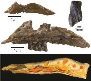 Fossiler og en 3D-model af den nyopdagede dinosaur Galleonosaurus dorisae. Dinosauren er identificeret ud fra fem kæbe-fossiler fundet i det sydøstlige Australien.