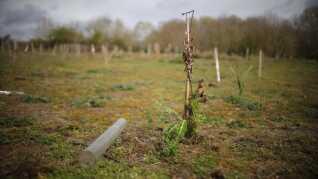 En stor del af Norwegians træer ved Oxford er i dag døde. Tilbage står de plastikrør, der skulle beskytte træerne mod mus og kaniner.