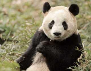 Mao Sun er lige til at kramme, men hun er et dyr, ovenikøbet et rovdyr, og derfor skal behandles som et dyr, slår Pernille fast.