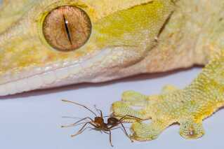 gecko_and_ant_image_courtesy_of_a_hackmann_d_labonte_1.jpg